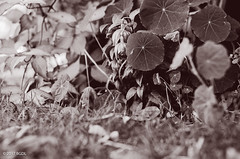 Down In The Garden! (BGDL) Tags: lightroomcc nikond7000 afsnikkor50mm118g bgdl monochrome niftyfifty blackandwhite garden grass flowers plants 7daysofshooting week21 lowvantagepoint blackandwhitewednesday