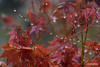 DSC_4162 the last leaves under the rain (profmarilena) Tags: raindrops japanesemaple