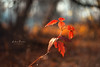 Forest mood (Pásztor András) Tags: nature forest mood red leaves grapes wild sunlight sky blue dof background bokeh sigma 70300mm dslr nikon d700 hungary andras pasztor photography 2017