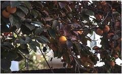 0083- FRUTAS DE OTOÑO - GRANADA - (--MARCO POLO--) Tags: frutas