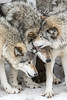 Gray Wolves-4146 (ChadBarry) Tags: parcomega winter