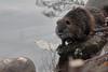 Nutria (myocastor coypus) (Paolo Bertini) Tags: adige river fiume verona sorte nutria myocastor copus mammal mammifero