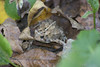 The Grumpy Toad (michaelramsdell1967) Tags: autumn leaves forest frog nature outside animals brown fall leaf animal colors green small woods ground wildlife colorful detail bark toad wilderness amphibian frogs grumpy toads bumpy anphibians