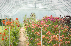 Dreaming in the Greenhouse (hmthelords) Tags: greenhouse flowers summer 2017 flowerfieldsforever countrydrives countryliving flowerfarm