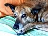 Pola von der Lotito (gerardoirazabalvalledor) Tags: pola von der lotito perro perra hunde hundinen dogs sieger tacuarembó montevideo uruguay gerardo irazábal valledor lumix panasonic fz 70 72