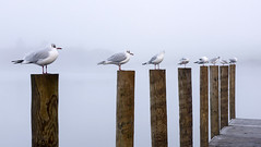 Making Friends (Tracey Whitefoot) Tags: 2017 tracey whitefoot cumbria lake district lakes derwentwater derwent water birds gulls jetty posts mist misty morning wooden wood sitting sit
