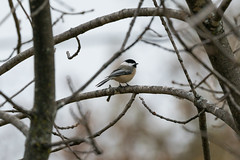 Chickadee (matthewthecoolguy) Tags: chickadee bird nature tree brach flight brown white grey sony sonyalpha sonya7rii sony100400