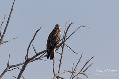 First Rough-legged Hawk sighting of the season