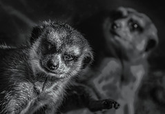 Meerkat Mobster and the meek. (FotoGrazio) Tags: animals meerkat waynegrazio waynesgrazio zoo animal animalstory blackandwhite composition creature critter evil eyes face fotograzio fur gangster mammal mobster nature portrait rodent selectivefocus sinister smug threatening thug wildlife