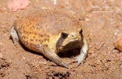 Power's Rain Frog (Breviceps poweri) (George Wilkinson) Tags: powers rain frog breviceps poweri malawi lilongwe mabuya guest house canon 7d 60mm macro amphibian flash wildlife africa herp herping herpetology