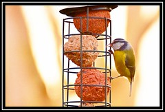 """Peckish Blue Tit..."" (NikonShutterBug1) Tags: nikond7100 tamron70300mm birds ornithology wildlife nature spe smartphotoeditor birdfeedingstation bokeh birdsfeeding bluetit"