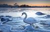 Suomi Finland 100 (Mika Laitinen) Tags: balticsea canon5dmarkiv europe finland helsinki kallahdenniemi kallvik scandinavia suomi vuosaari cloud cold colorful nature outdoors sea sky snow swan water