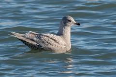 Iceland Gull-31 (davidgardiner8) Tags: birds gulls icelandgull