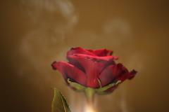Red rose and smoke (MasterKrzych) Tags: redrose flower nature flowers petal petals rosepetal flowerpetal rosepetals flowerpetals leaves greenleaves greenleaf rose roses beautifulflower beautiful canon canondslr dslr dslrcamera tamron tamron18270 tamron18270mm tamron18270mmf3563 lens canoneos1300d canoneos eos 1300d lovecanon