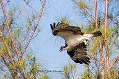The flight of the Osprey (bananaman33428) Tags: evergladesphotographicsociety birdwatcher osprey flight westdelrayregionalpark