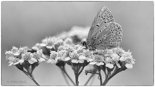 Hauhechel-Bläuling (Polyommatus icarus) SW