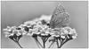 Hauhechel-Bläuling (Polyommatus icarus) SW (AchimOWL) Tags: bläuling schmetterling insekt insect tier tiere animal makro macro landschaft outdoor pflanze gras wiese dmcgh5 gh5 natur nature lumix panasonic tagfalter postfocus ngc macrodreams schärfentiefe wildlife stack ostwestfalen owl blüte butterfly fauna sw blackandwhite