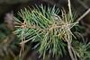 Scots Pine, Avon Heath Country Park, Dorset, UK (rmk2112rmk) Tags: avonheathcountrypark pine tree pinus sylvestris macro dof bokeh scots