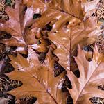 Wet fallen leaves - Feuilles tombées mouillées thumbnail