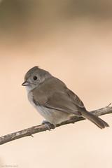 oak titmouse Malibu California (lee barlow) Tags: california nikon800mm nikon baeolophusinornatus birdsofnorthamerica birdsofcalifornia leebarlow oaktitmouse malibu d7200 ngc