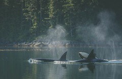 We need joy (Tracey Rennie) Tags: orca whale transient killer bc baby