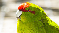 Kākāriki (upsidedown astronomer) Tags: newzealand parakeet