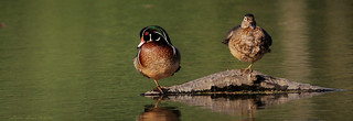 two ducks with a leg up