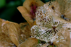 fragile (nelesch14) Tags: macro fragile flower fall autumn hydrangea hortensia nature wilted rainy