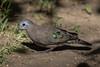 Emerald-spotted Wood-dove (Tutur chalcospilos) (Asif Kassam) Tags: emeraldspotted emerald wooddove dove bird ornithology birdwatching birds pigeon shiny iridescent feathers beak