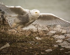 """And we have liftoff!"" (Dr. Farnsworth) Tags: bird snowyowl large wingspan flight wings female muskegon mi michigan fall november2017"