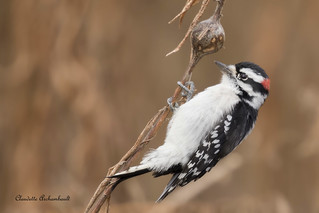 Pic mineur, Downy Woodpecker