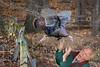 Turkey's Revenge (Wes Iversen) Tags: brighton kensingtonmetropark michigan milford nikkor18300mm thanksgiving autumn birds composites fence fences humor selfportraits selfies trees turkeys wildlife