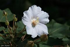 _Q9R9979 (Arthur's Dream (Dreamer:Thanks for +7.556.000 v) Tags: nature white hibiscus flower ngc npc coth5