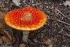 Dinner plate Agaric! (favmark1) Tags: flyagaric kent fungus toadstool amanitamuscaria