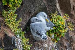 mother and son (barragan1941) Tags: aves fauna gaviotas islandia