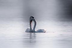 swans in love (mistycrow) Tags: swans swan birds water river stour mist misty fog love