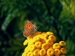 B u t t e r f l y (Ƈєℓıα Ɠгαρɦץ'ѕ) Tags: sonycybershot sonydsch1 shot camera capture picture photo photographie flowers papillon butterfly fields yellowflower meadow grass sun summer light macro campaign lycaenaphlaeas