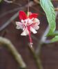 fuchsia in the garden / yard 10-17 (nolehace) Tags: fuchsia garden yard 1017 fall nolehace sanfrancisco fz1000 flickrelite plant bloom flower