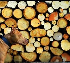 #marley #& #me #pit #bull #pitbull #friends #autumn (Happy Dot Net) Tags: bull autumn pit marley friends pitbull me