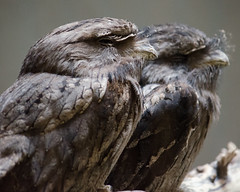 Frogmouth (TW Olympia) Tags: st louis zoo frogmouth