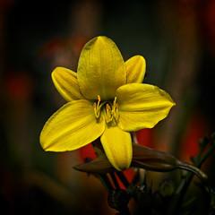 A Summer Memory (MrBlueSky*) Tags: flower petal plant nature horticulture outdoor garden colour royalbotanicgardens kewgardens london aficionados pentax pentaxart pentaxlife pentaxk1 pentaxawards pentaxflickraward alittlebeauty sunrays5 coth5
