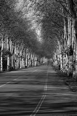 Chiara direzione (s81c) Tags: ombre alberi linea strada bn shadows trees lines road bw blackandwhite biancoenero