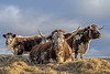 Saddleworth Cattle (Craig Hannah) Tags: saddleworth delph diggle standedge cattle cows pennine pennines agriculture farm farming farmland craighannah december 2017 westriding yorkshire england uk oldham greatermanchester
