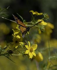 MonarchButterfly_SAF2152 (sara97) Tags: danausplexippus butterfly copyright©2017saraannefinke endangered insect missouri monarch monarchbutterfly photobysaraannefinke pollinator saintlouis flight inflight flying
