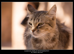 El Badii Palace (Hagens_world) Tags: marokko cat marrakesch animals africa afrika katze maroc marrakech marrakesh morocco tier gato medina marrakeschsafi canon canoneos5dmarkiii mar