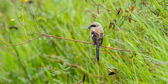 20171123-EM123681 (shutterblades) Tags: birds longtailedshrike olympusem1mkii olympusmzuiko300mmf4pro14tc seletaraerospacehub seletarwestlink