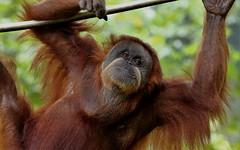 2010_ac_Play time.... (Wellsman2010) Tags: 70300 50d canon ape funny comical fun kuala lumpur zoo malaysia wildlife nature