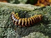 Apheloria virginiensis (matthewbeziat) Tags: apheloriavirginiensis marylandwildlife americanwildlife patapscovalleystatepark baltimorecounty maryland millipede