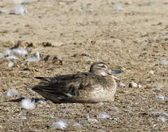 Rare Duck Finds Haven in Santa Maria (grandmasandy+chuck) Tags: duck garganey rare explore eurasia wallerpark