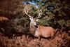 IMG_9236 (Zapkus) Tags: wild nature deer reddeer park forest morning outside animal london zapkus 2017